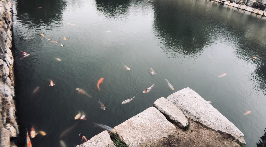 【お堀の鯉】